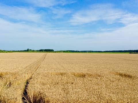 更別村の小麦畑