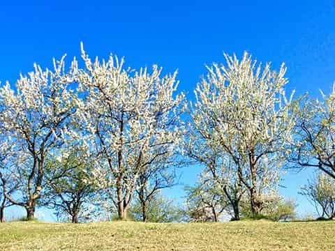 春のすももの里の風景